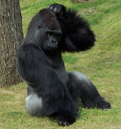 Gorilla_Scratching_Head