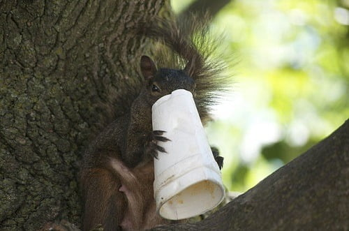 640px-A_squirrel_and_his_styrofoam_cups